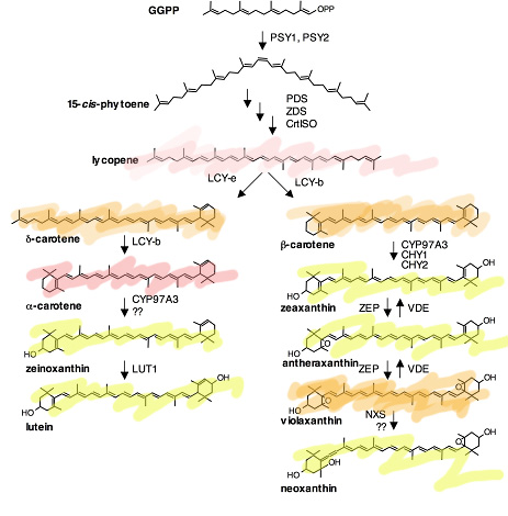 Protein synthesis in plants